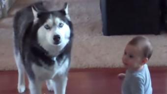 Baby Talks To Husky