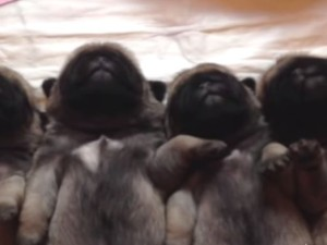 Sleepy Newborn Pugs