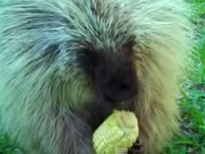Meet Teddy The Porcupine