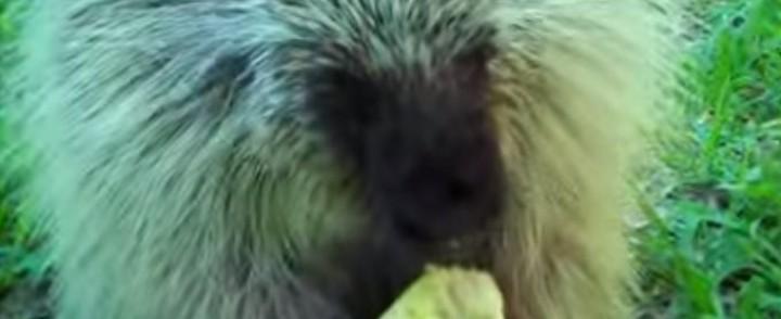 Meet Teddy The Porcupine