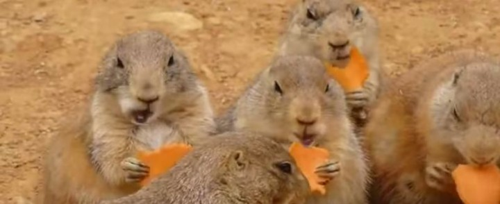 Prairie Dog Carrot Party